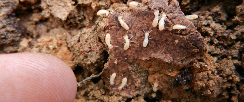 How to tell if termites are active in your house