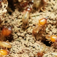 How does pest control kill termites?