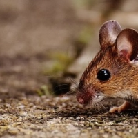 What to do if there are mice in your walls