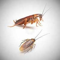 Top five most common household pest in Australia