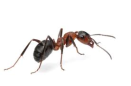 Coastal Brown Ant